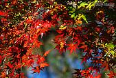 秋季福壽山農場‧楓紅:DSC_2672_福壽山楓紅-秋季楓葉-秋天.JPG