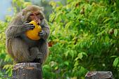 野生動物:DSC_3472台灣獼猴.jpg