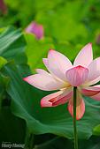 花草植物:5835荷花-蓮花.jpg