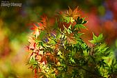秋季福壽山農場‧楓紅:DSC_2602S福壽山楓紅-秋季楓葉-秋天.jpg