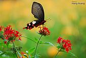 飛禽昆蟲:DSC_0408大紅紋鳳蝶.JPG