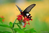 飛禽昆蟲:DSC_0410大紅紋鳳蝶.JPG