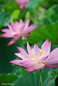 花草植物:5882荷花-蓮花.jpg