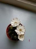 未分類相簿:仙人掌開花了