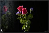 花卉攝影練習:5D3_2151.jpg
