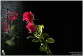 花卉攝影練習:5D3_2134.jpg