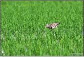 崁頂水稻田:7D2_8687.jpg