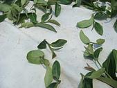 2011.6.6端午節午時茶採製:DSC09666.JPG