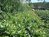 2011.6.6端午節午時茶採製:DSC09667.JPG