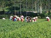 2011.6.6端午節午時茶採製:DSC09669.JPG