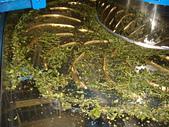 2011.6.6端午節午時茶採製:DSC09684.JPG