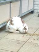 寵物兔---可愛的小肥:相片0246.jpg