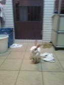 寵物兔---可愛的小肥:相片0097.jpg