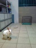 寵物兔---可愛的小肥:相片0099.jpg
