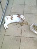 寵物兔---可愛的小肥:相片0241.jpg