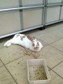 寵物兔---可愛的小肥:相片0243.jpg