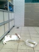 寵物兔---可愛的小肥:相片0242.jpg