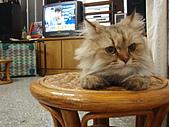 96.5.26貓咪新照片:P5260217