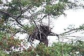 同學會 (二) Galiano Island 嘉利安諾島:看到鷹巢... 老鷹不在家