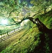 阿里山旅遊.阿里山森林遊樂區旅遊行程,阿里山日月潭二日遊:阿里山夜櫻.jpg