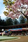2010阿里山櫻花雨:DSC07674.JPG
