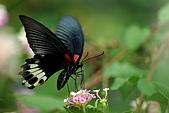九芎湖步道之蝴蝶展:11.jpg