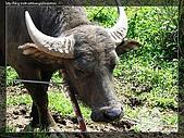 陽明山:陽明山水牛