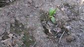 104一甲-有機菜園種黃豆:DSC_0096.JPG