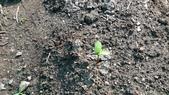104一甲-有機菜園種黃豆:DSC_0069.JPG