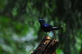 我的第一次『鳥』經驗:20110319_白尾鴝_06.JPG