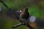 我的第一次『鳥』經驗:20110319_白尾鴝_07.JPG