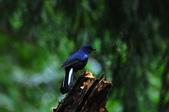 我的第一次『鳥』經驗:20110319_白尾鴝_05.JPG