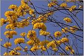 開花的樹:黃花風鈴木樹