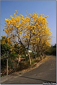 開花的樹:黃花風鈴木