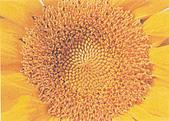 黃金比率:7.向日葵種子的生長螺紋是左旋和右旋的兩組交錯等角螺線,右21道與左旋34道,1比1.619趨近黃金比例