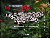 黃金比率:4.蝴蝶之後翅與前翅的寬度或長度的比值呈黃金比例