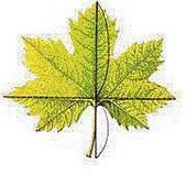 黃金比率:2.楓葉的葉脈和葉子寬度。