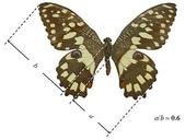 黃金比率:4.蝴蝶之後翅與前翅的寬度或長度的比值呈黃金比例。
