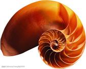 黃金比率:.鸚鵡螺的生長螺紋非常接近符合黃金比例的等角螺線,這正是完美的生長模式。