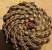 黃金比率:6.松樹毬果的生長螺紋是左旋和右旋的兩組交錯等角螺線,右旋8道與左旋13道,1比1.625趨近黃金比例。