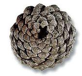 黃金比率:6.松樹毬果的生長螺紋是左旋和右旋的兩組交錯等角螺線.右旋8道與左旋13道..1比1.625趨近黃金比例。