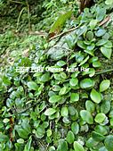 石碇傳統手工麵線相片集,讓您認識手工麵線,認識傳統手工:石碇皇帝殿-路上植物.JPG