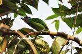 57初冬中山公園訪禽:中山公園五色鳥_6412.JPG