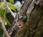 成大校區五色鳥紀錄:五色鳥--成大  133.jpg