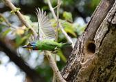 成大校區五色鳥紀錄:五色鳥--成大  134.jpg