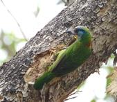 成大校區五色鳥紀錄:五色鳥--成大  207.jpg