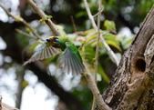 成大校區五色鳥紀錄:五色鳥--成大  143.jpg