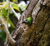 成大校區五色鳥紀錄:五色鳥--成大  145.jpg