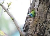 成大校區五色鳥紀錄:五色鳥--成大  019.jpg
