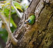 成大校區五色鳥紀錄:五色鳥--成大  152.jpg